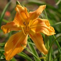 HEMEROCALLIS Sunray Brilliance. Spider Daylily. Woottens Plant Nursery