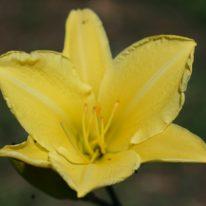 HEMEROCALLIS Windmill Yellow