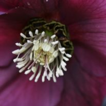 SPECIAL OFFER Helleborus Wilgenbroeks Red