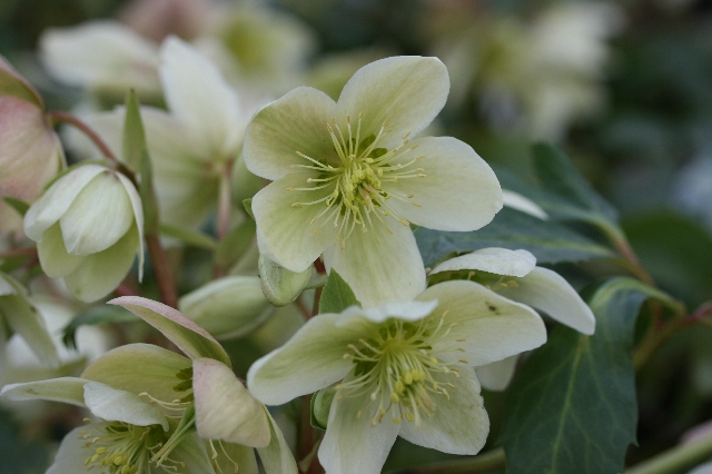 SPECIAL OFFER Helleborus x ericsmithii Collection
