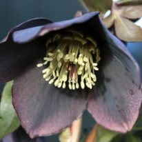 SPECIAL OFFER Helleborus Wilgenbroek Black