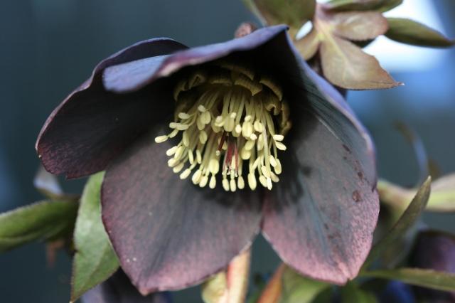 SPECIAL OFFER Helleborus Wilgenbroek Black