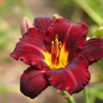 HEMEROCALLIS Dominic Woottens Plant Nursery