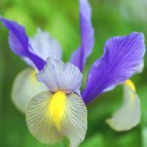 IRIS hollandicum Oriental Beauty