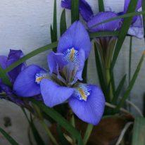 IRIS unguicularis Mary Barnard
