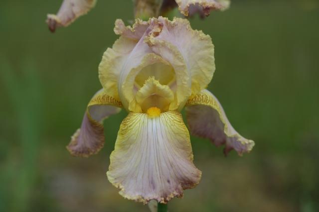 IRIS germanica Chantilly