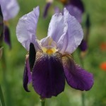 IRIS germanica Alcazar