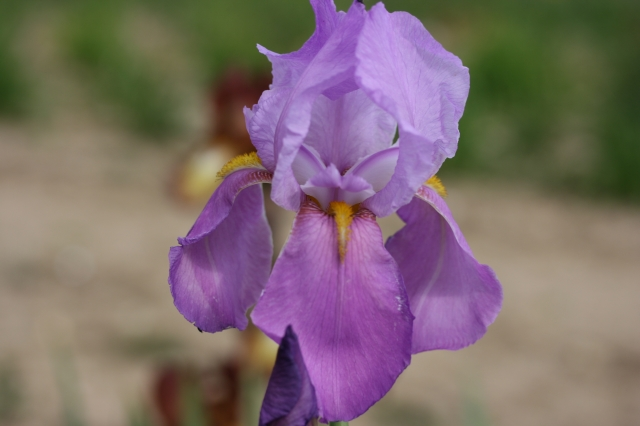 IRIS germanica Dogrose