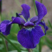 IRIS sibirica Maranatha (Bareroot)