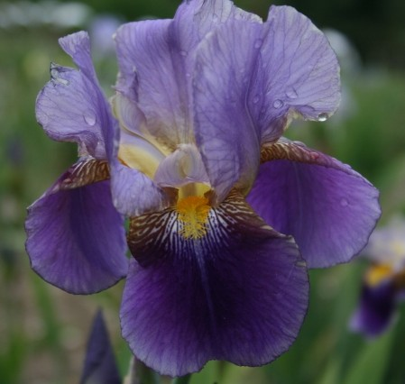 IRIS germanica Lent A Williamson