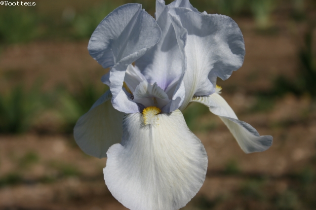 SPECIAL OFFER Historic Bearded Iris Collection photo