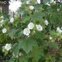 KITAIBELIA vitifolia