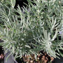 LAVANDULA angustifolia Munstead