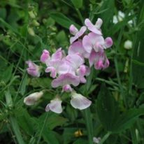 LATHYRUS latifolius Pink Pearl