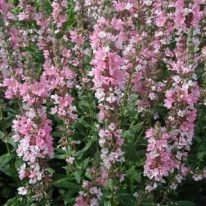LYTHRUM Blush