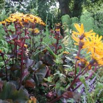 LIGULARIA clivorum Britt Marie Crawford
