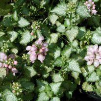 LAMIUM maculatum Pink Pewter