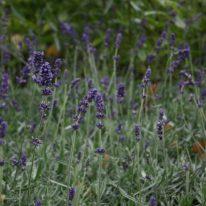LAVANDULA angustifolia Hidcote