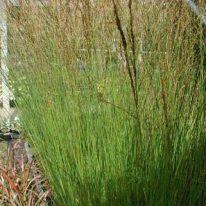 MOLINIA caerulea Heidebraut