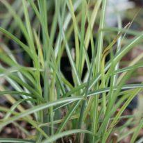 MISCANTHUS sinensis Adagio
