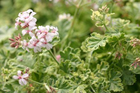 PELARGONIUM Creamy Nutmeg. Scented Leaf Pelargonium - Woottens