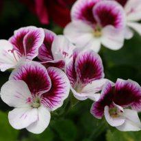 PELARGONIUM Seeley's Pansy Decorative Pelargonium - Woottens
