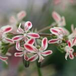 PELARGONIUM Blackman Beauty. Species Pelargonium - Woottens