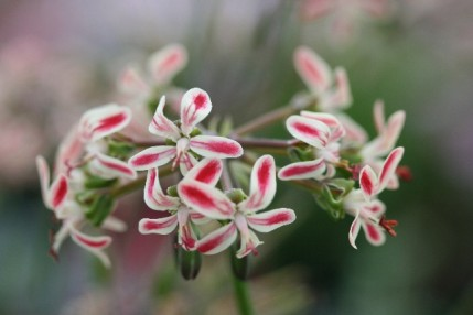 PELARGONIUM Blackman Beauty 2 Litre
