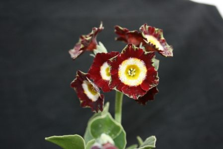 PRIMULA auricula Woottens Red Blaze - Woottens Plant Nursery