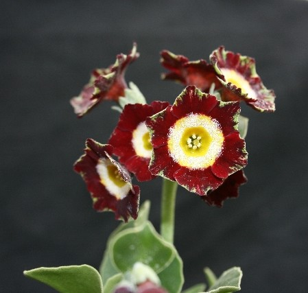 PRIMULA auricula Woottens Red Blaze
