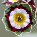 PRIMULA auricula Glenelg