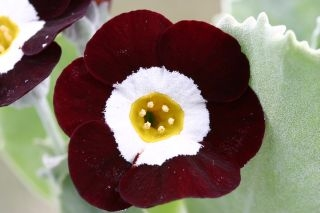 PRIMULA auricula The Snods - Woottens Plant Nursery Suffolk.