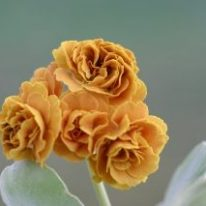 PRIMULA auricula Golden Splendor - Woottens Plant Nursery Suffolk.