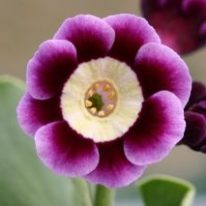 PRIMULA auricula Andy Cole