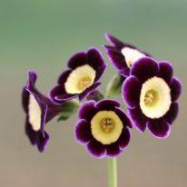 PRIMULA auricula Anwar Sadat - Woottens Plant Nursery.