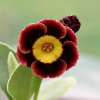 PRIMULA auricula Brown Ben - Woottens Plant Nursery.
