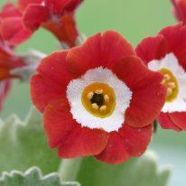PRIMULA auricula Chaffinch