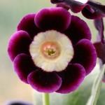 PRIMULA auricula Kerkup - Woottens Plant Nursery Suffolk.