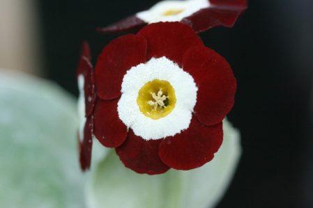 PRIMULA auricula Neville Telford - Woottens Plant Nursery Suffolk
