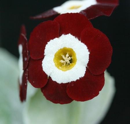 PRIMULA auricula Neville Telford