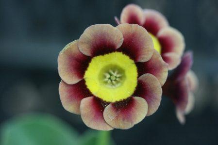PRIMULA auricula T.A.Hadfield - Woottens Plant Nursery Suffolk.