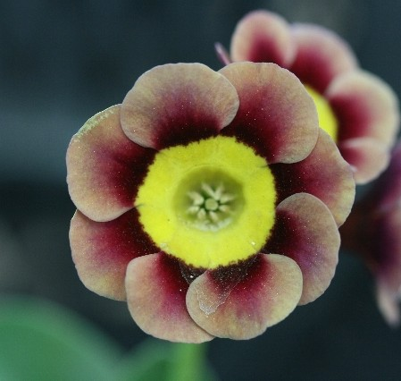 PRIMULA auricula T. A. Hadfield