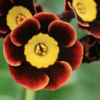 PRIMULA auricula Autumn Fire - Woottens Plant Nursery.