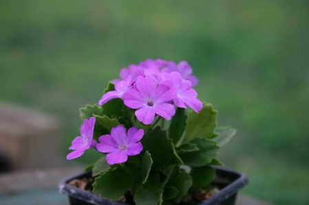 PRIMULA x pubescens Freedom - Woottens Plant Nursery.