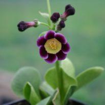PRIMULA auricula Adrians Cross - Woottens Nursery. Auricula specialists