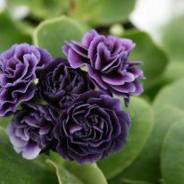 PRIMULA auricula Miss Bluey - Woottens Plant Nursery Suffolk