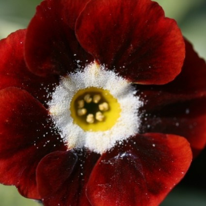 PRIMULA auricula Dale's Red - Woottens Plant Nursery Suffolk.
