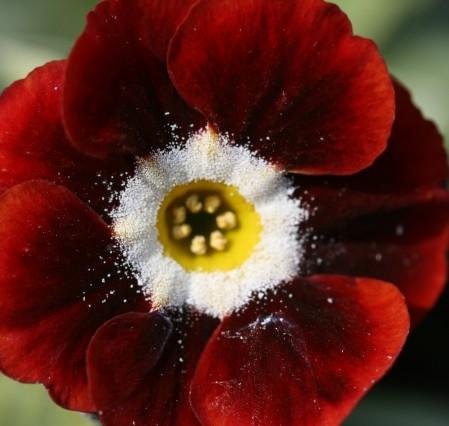 PRIMULA auricula Dale's Red