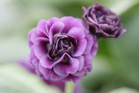 PRIMULA auricula Teawell Pride - Woottens Plant Nursery Suffolk.