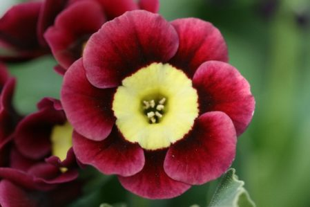 PRIMULA auricula Pippin - Woottens Plant Nursery Suffolk